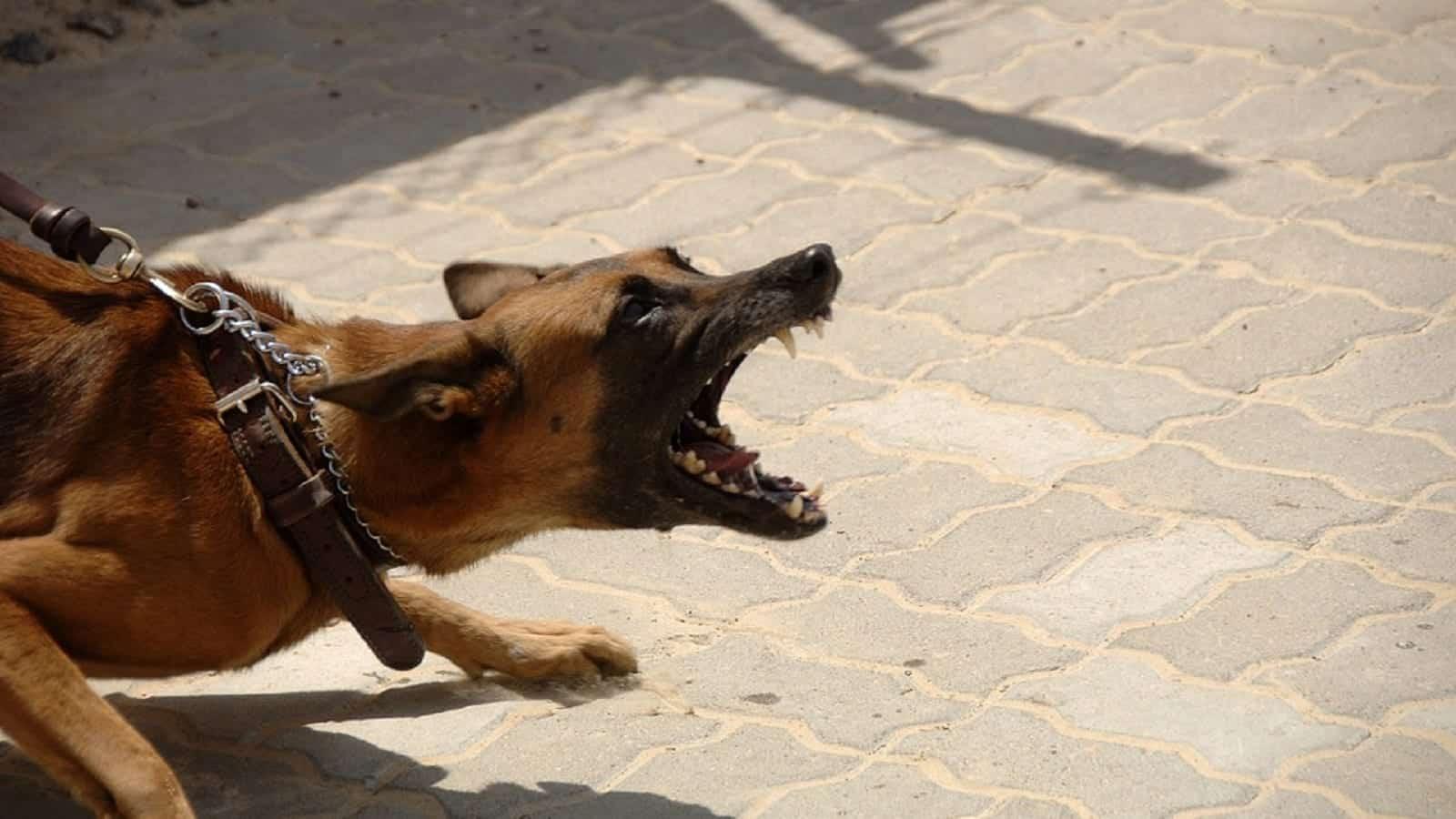 Aggressive Dog Barking Stock Photo
